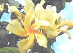 Chonemorpha macrophylla