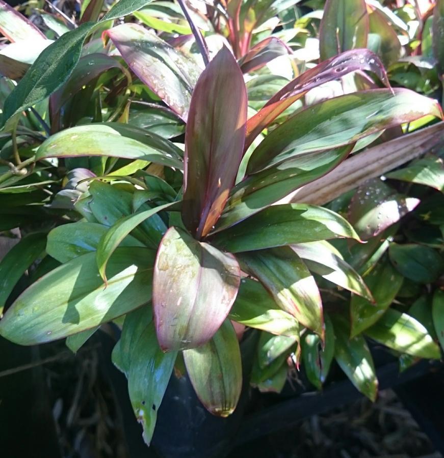 Cordyline fruticosa 'Dolly'