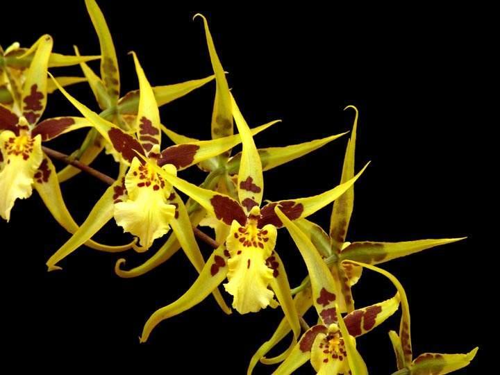 Mclnra. Yellow Stars