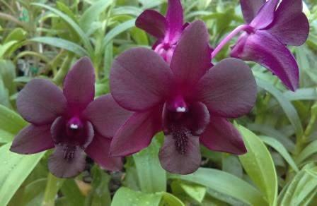 Dendrobium Airy Crimson