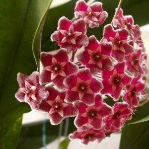 Hoya pubicalyx Silver Pink