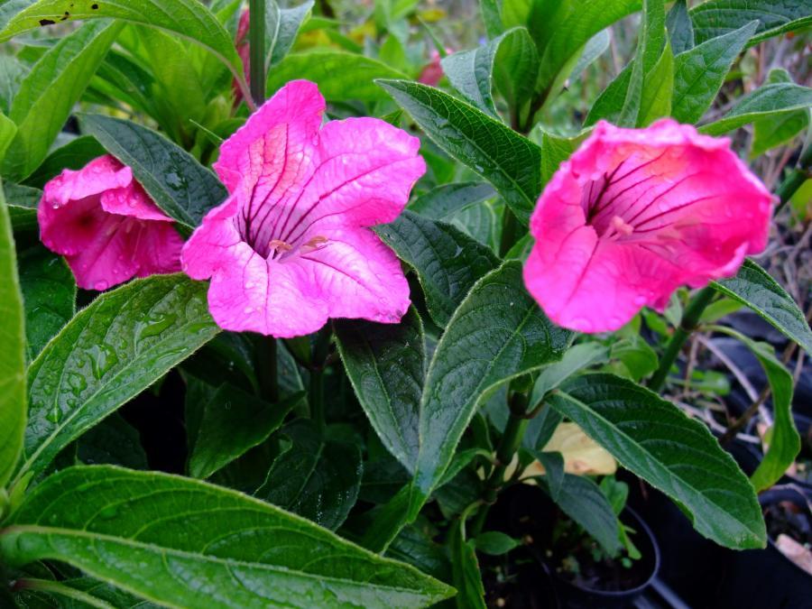 Ruellia macranthra