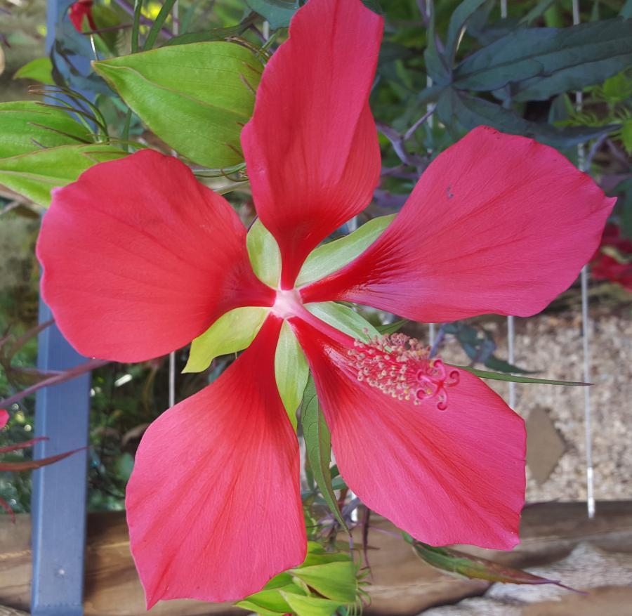 Hibiscus coccineum