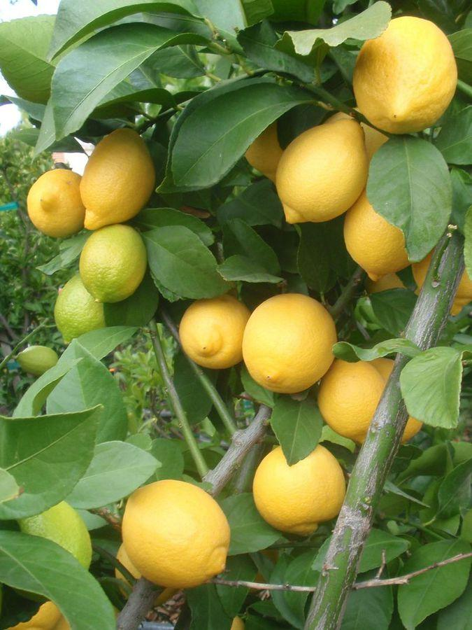 Citrus limon 'Eureka'