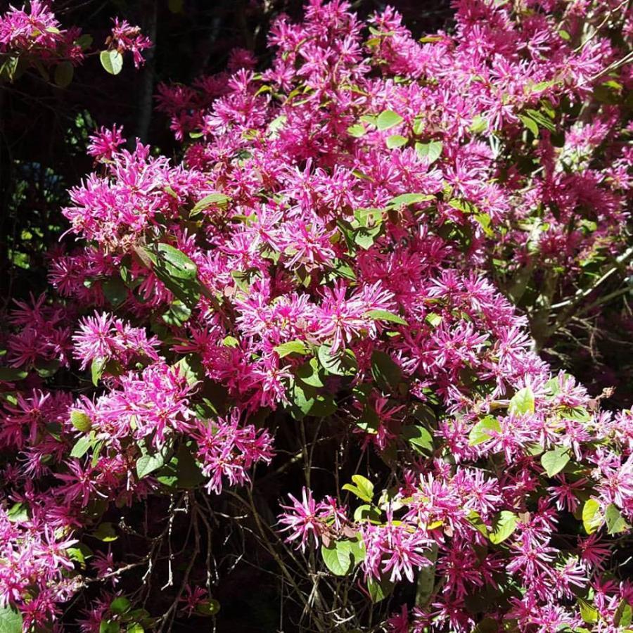 Loropetalum chinense 'Pink'