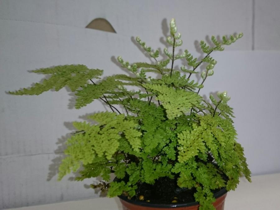 Cheilanthes myriophylla