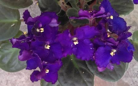 African Violet Sorcerer