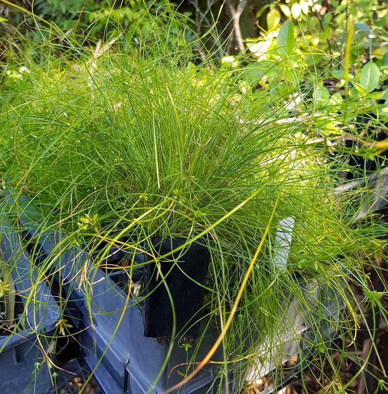 Cyperus gracilis