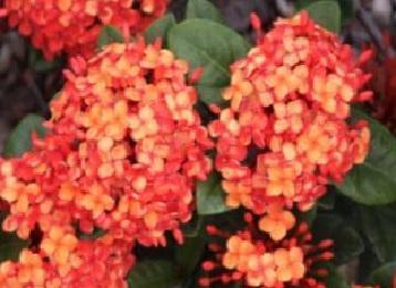 Ixora Coral Malay