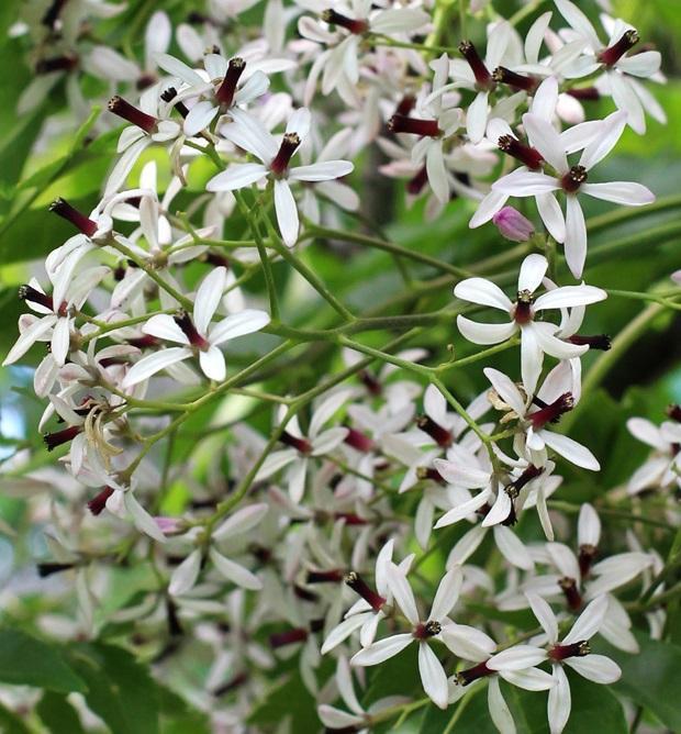 Melia azederach flowers