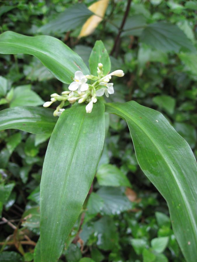 Pollia Crispata